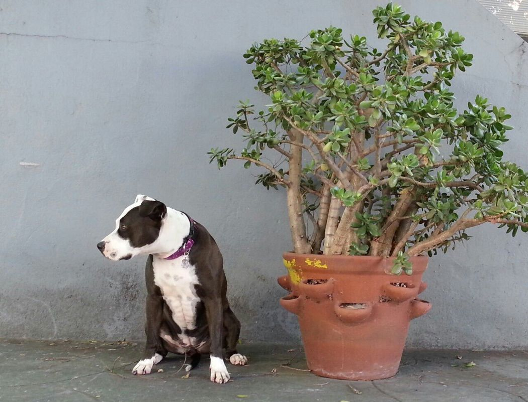Spoon The Dog Pets Corner Jade Plant Crassula Staffy Pitbull