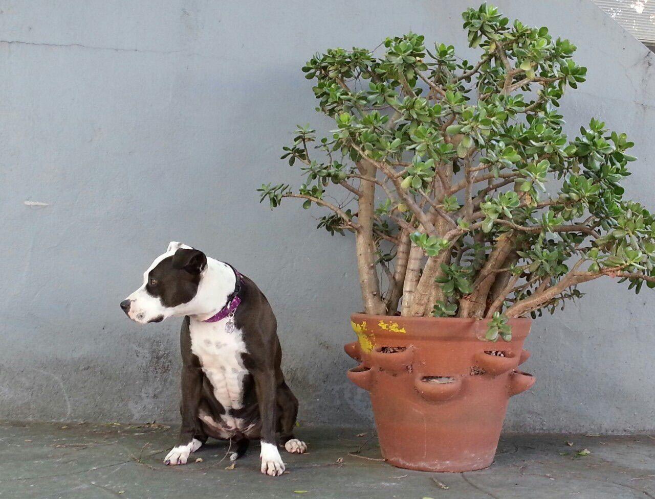 Spoon The Dog Pets Corner Jade Plant Crassula Staffy Pitbull