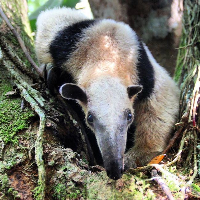 Anteater in Costa Rica Wildlife Wildlife Photography Animals Hello World Wildography Monochrome Animal_collection