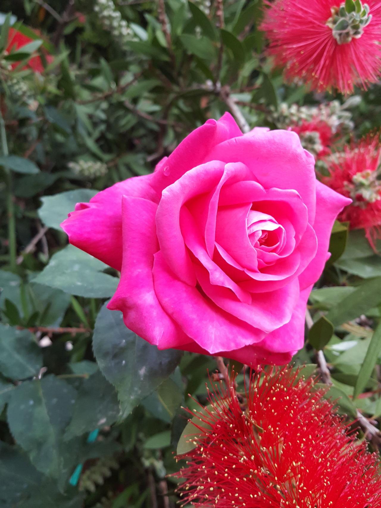 Flower Rose - Flower Pink Color Nature Beauty In Nature Flower Head Rose🌹 Rosé Rosa Rosas🌹🌹 EyeEmFlower Flowers Flora Fleur Fleurs Flor çiçek