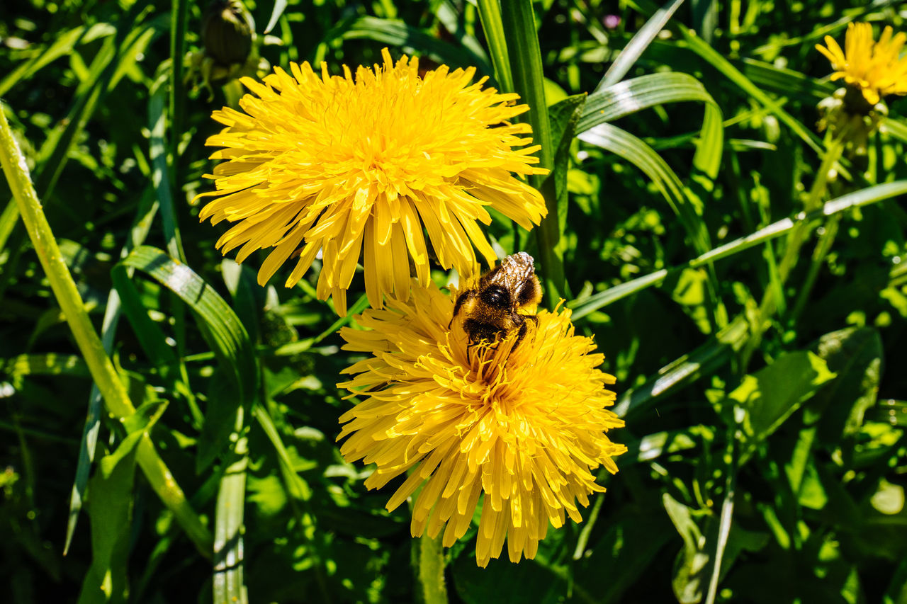 flower, yellow, insect, nature, petal, growth, bee, plant, beauty in nature, animal themes, one animal, freshness, fragility, flower head, pollination, animals in the wild, outdoors, no people, blooming, animal wildlife, bumblebee, day, close-up