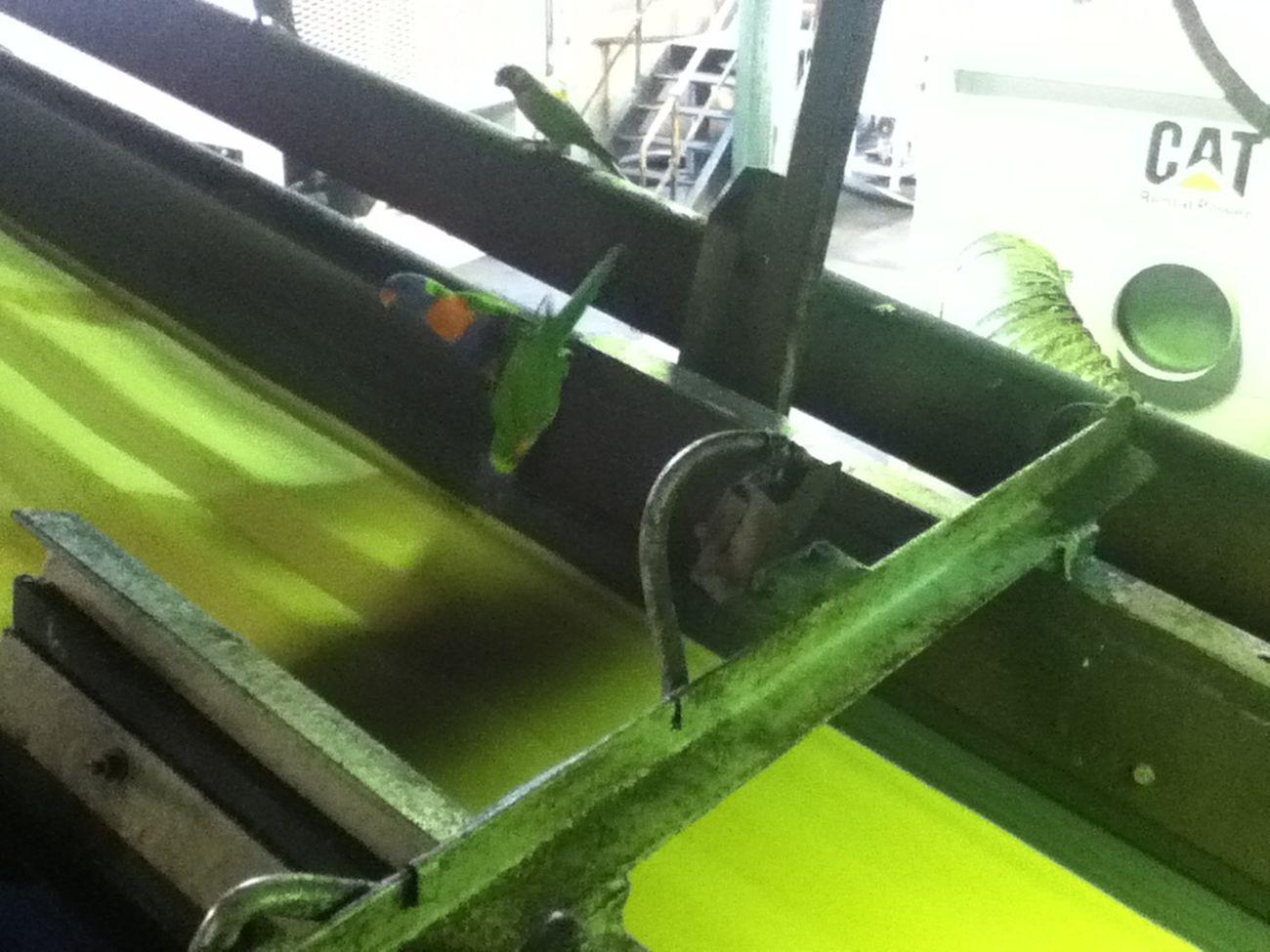 Sugarmill Sugarbelt Lorikeet Ipod4