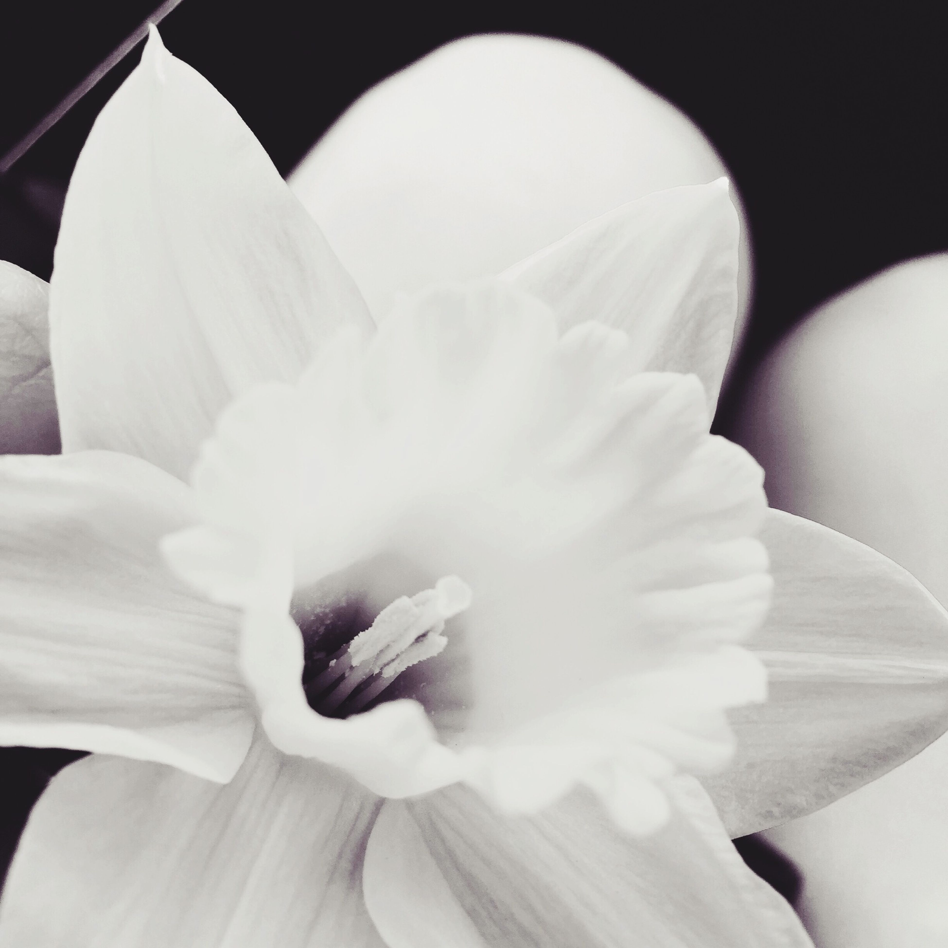 flower, petal, flower head, freshness, fragility, beauty in nature, close-up, growth, white color, nature, stamen, blooming, pollen, single flower, in bloom, blossom, bloom, white, botany, softness