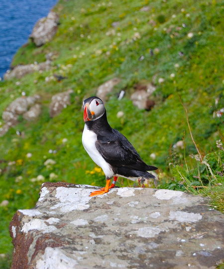 Animal Themes Animals In The Wild Bird Close-up One Animal Puffin Rock - Object Wildlife Puffins Scotland Scottish Highlands Nature's Diversities