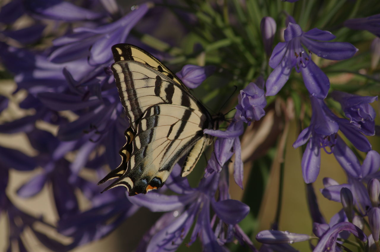 Agapanthus Animal Themes Animals In The Wild Beauty In Nature Beauty Redefined Butterfly - Insect Close-up Day Flower Flower Head Fragility Freshness Insect Nature No People One Animal Outdoors Peter Pan Agapanthus Plant Pollination Purple Swallow Tail Butterfly