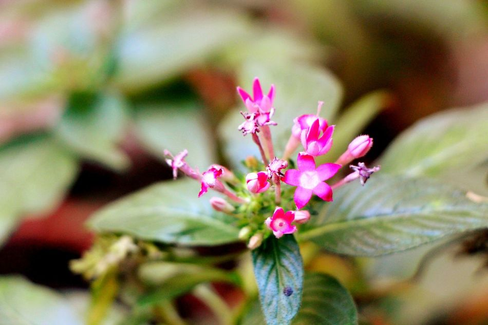 Flower Pink Color Fragility Nature Plant Beauty In Nature Flower Head Freshness Close-up Day Outdoors No People Likeforfollow Like4like Likes4likes Follow4like L4l Follow4follow Likeforlike Likes Nature Plant Purple Bye Followbackinstatly EyeEmNewHere EyeEmNewHere