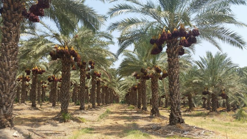 planting dates Agriculture Dates Dates Tree Delicious Desert Esotic Fruit Israel Oasis Palm Trees Plantation Tropical Fruits Beautifully Organized