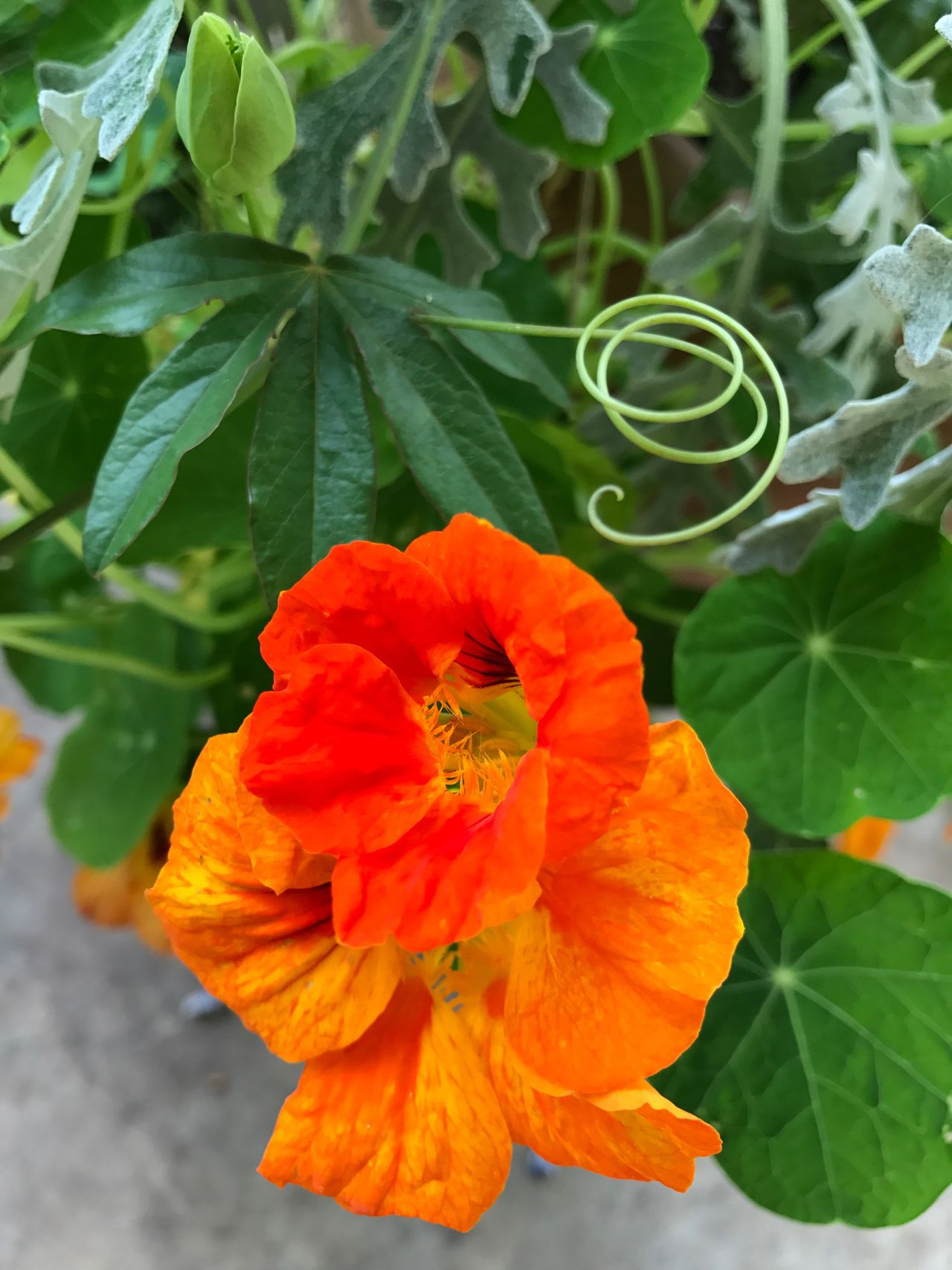 Swirl Nasturtium Flower Plant Growth Nature Beauty In Nature Blooming Leaf Petal Fragility Flower Head Green Color No People Close-up Freshness Outdoors Day Orange Tendril Green Color Swirly