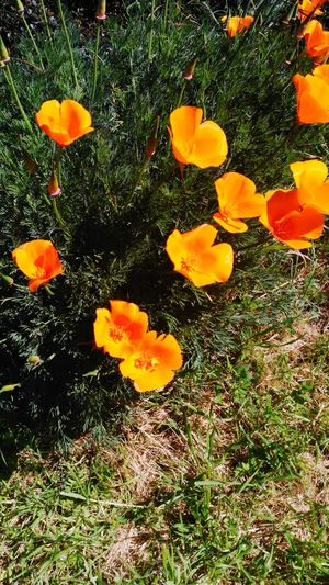 Orange Color Outdoors Nature Beauty In Nature Poppy Flowers California Poppies High Angle View Swimming No People Water Day Close-up Animal Themes Sea Life EyeEmNewHere