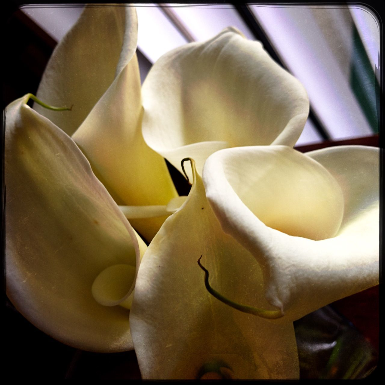Flower Freshness Beauty In Nature Nature Fragility Growth Yellow Petal Close-up No People Flower Head Outdoors Day Calla Lily