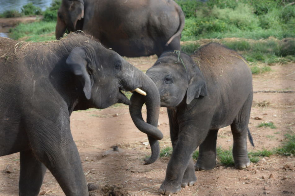 Animal Animal Family Animal Trunk Animals In The Wild Elephant Calf Elephants Playing Focus On Foreground Herbivorous Outdoors Two Animals Young Elephants