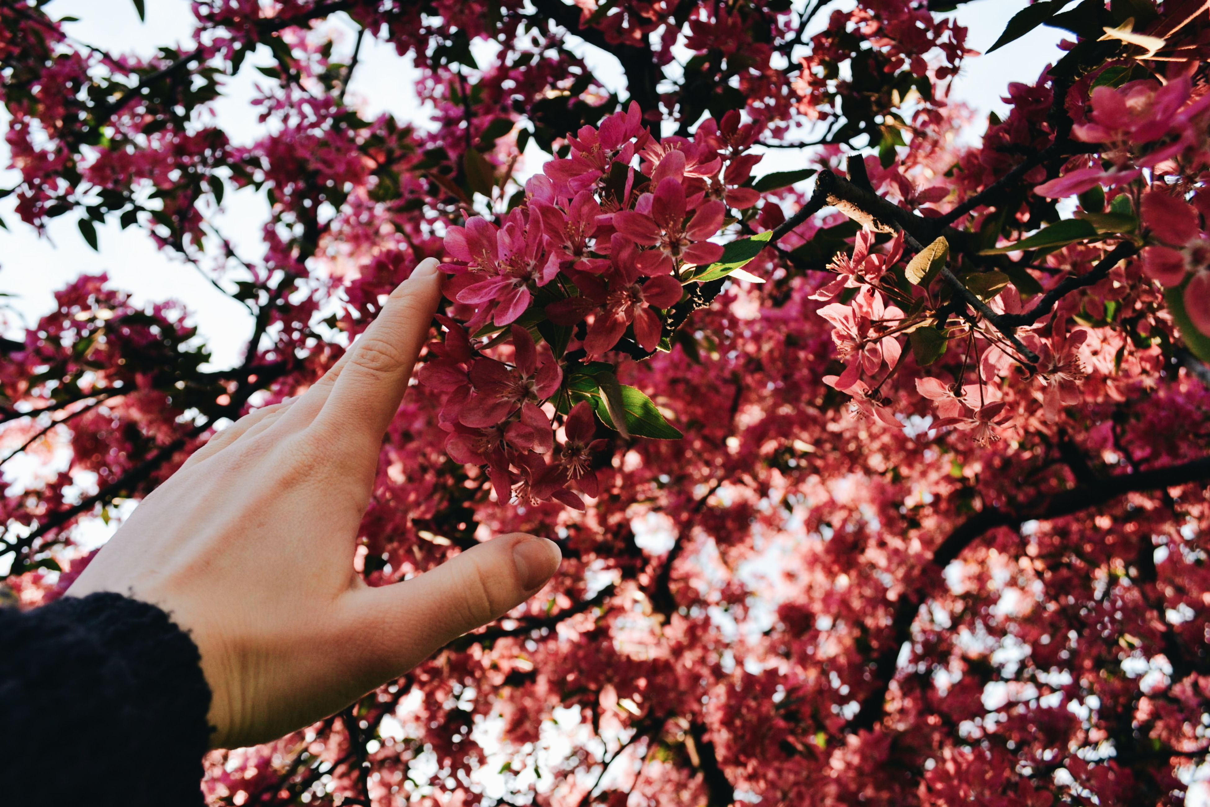 flower, tree, pink color, branch, person, freshness, part of, growth, lifestyles, holding, low angle view, nature, beauty in nature, fragility, leisure activity, blossom