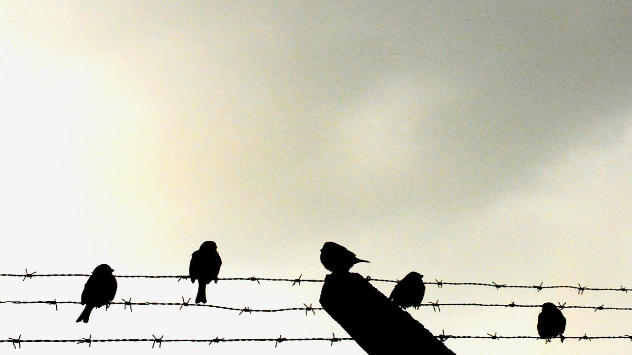 Birds resting on fence Birds Birds Of EyeEm  Birds_collection Birds And Sky  Wired Fence Fence Birds On A Wire Birds On A Fence Barbed Wire Grey Sky Cloudy Birds Silhouette
