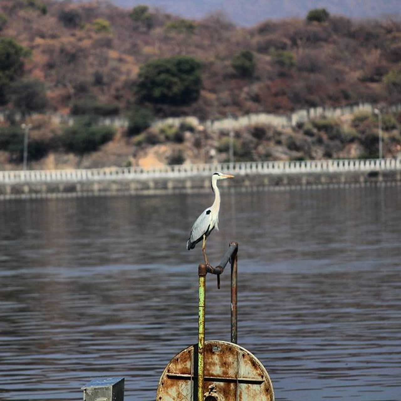 Can any1 tell me which bird is it ?? UNKNOWN BIRD || CANON 700D || 55-250MM LENS || MORNING SHOT Brid Birdstagram Picoftheday Instaexplorer Wanderer Clicks Ig_gram Ig_officials Instagram Bird_on_Instagram LongShots Wintermornings CaptureBirdie Oye_my_click Morningclicks Igers_wanderlust BestNatureShotz Exclusiveshotz Bestshotz Myshot Iiclicks_India Iiclicks_udaipur True_photo_lover Udaipuritids UdaipurBlogs InstaUdaipur SweetUdaipur UnseenUdaipur Udaipurlakecity