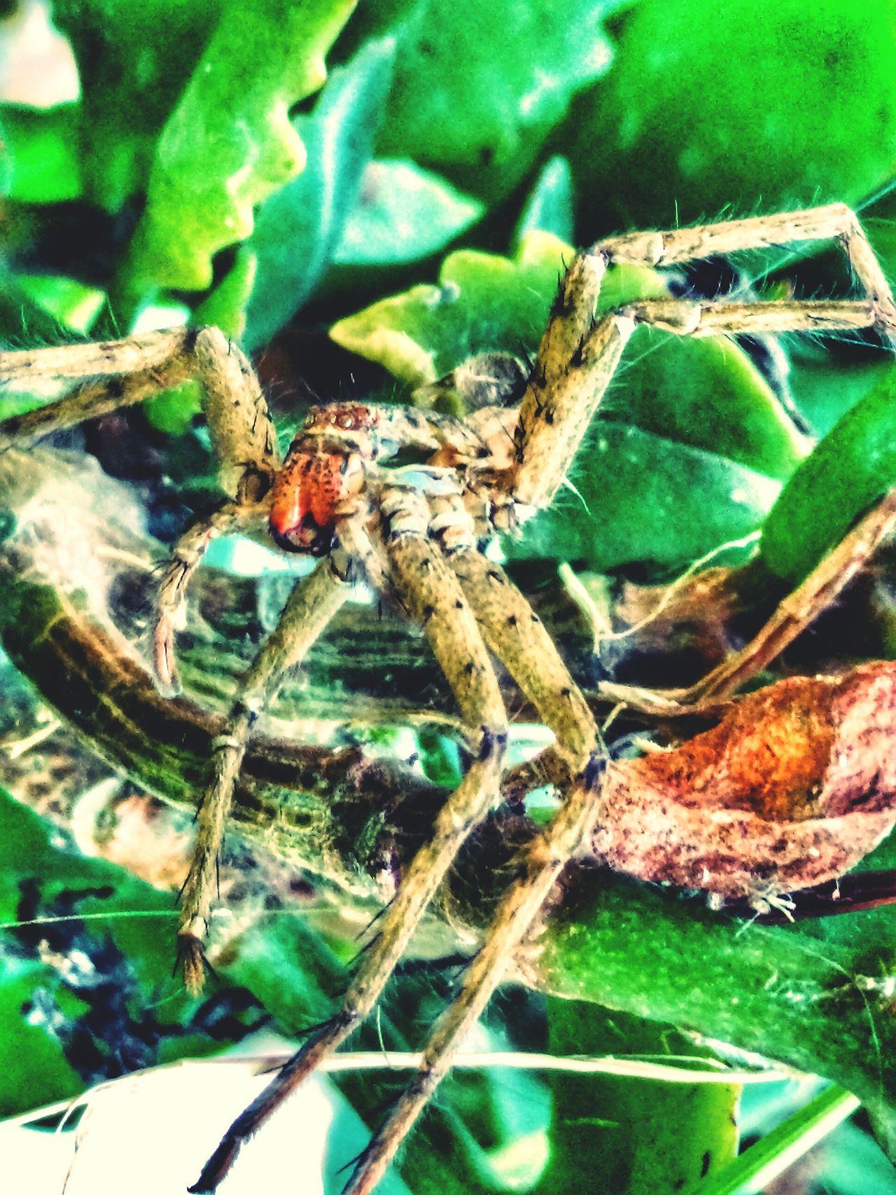 Arachnophobia Aracnidos Araña Insects  Mimetism Naturaleza Eyem