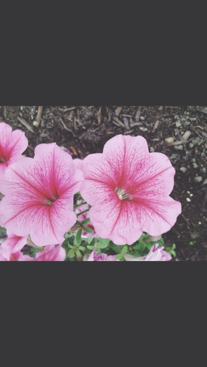 flower, growth, plant, nature, beauty in nature, blooming, petal, pink color, fragility, no people, flower head, close-up, freshness, outdoors, petunia, day
