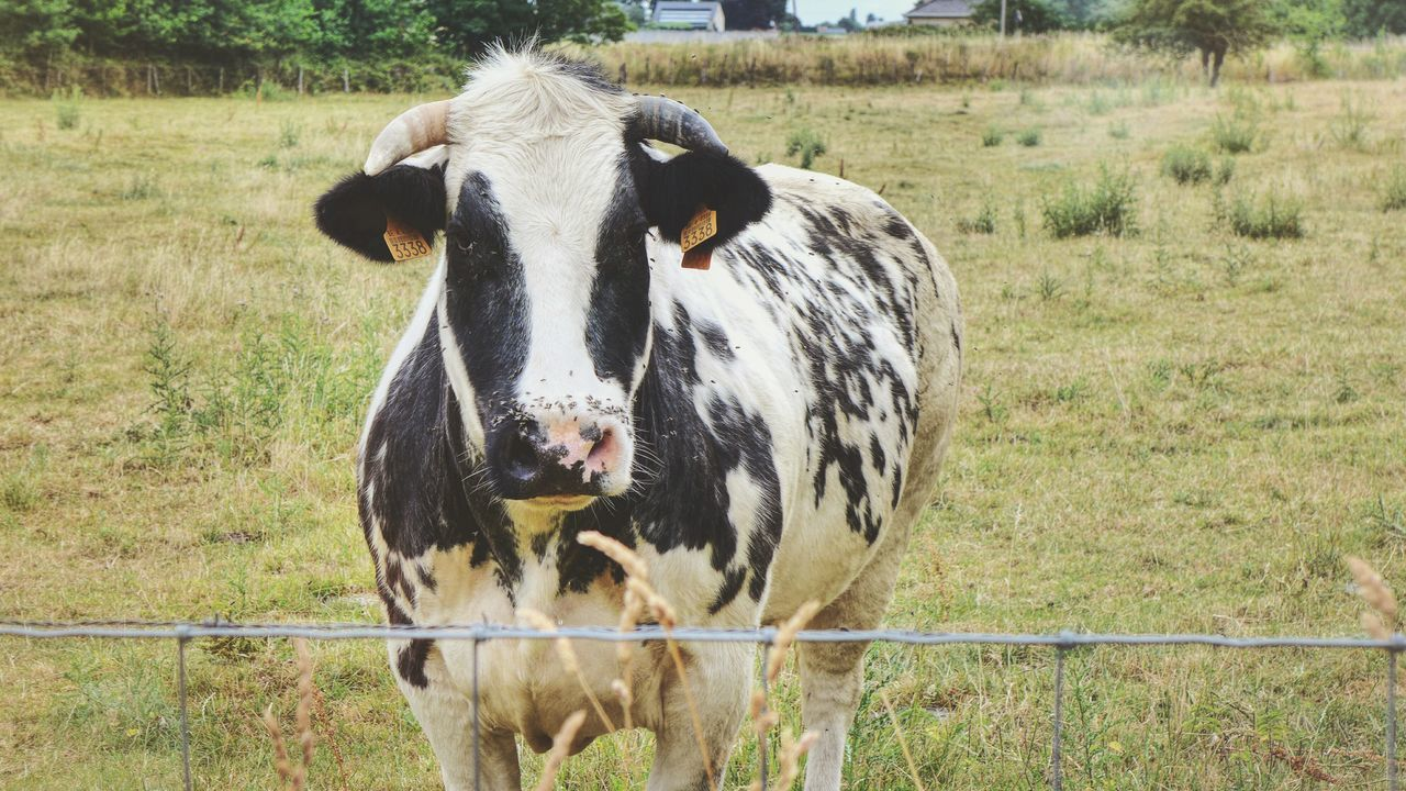 EyeEm Selects Mammal Animal Themes Field Domestic Animals Day Outdoors No People Grass One Animal Livestock Nature Portrait Discovering Photography Photograph Cow Nature Tree Smile Close-up Photographer Cow Photography Cows In A Field Cows Of Eyeem