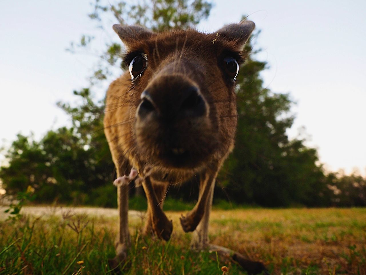 Whatsup! // Perth WesternAustralia Australia // Olympus OM-D EM-1 Pets Corner Animals Kangaroo Funny Faces Nature Miles Away The Great Outdoors - 2017 EyeEm Awards