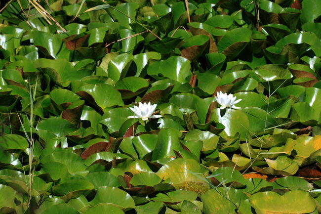 Aquatic Plants Botany Close-up Day Fiè Allo Sciliar Flower Full Frame Green Color Growth Italy Nature Ninphea Outdoors Plant Summer 2016 Südtirol