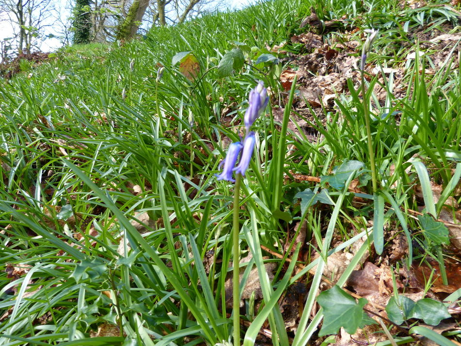 Blackbury Camp Bluebells Daffodils Flowers Devon UK Grass Growth Hill Fort Iron Age Nature Outdoors Trees Wild Flowers Woods