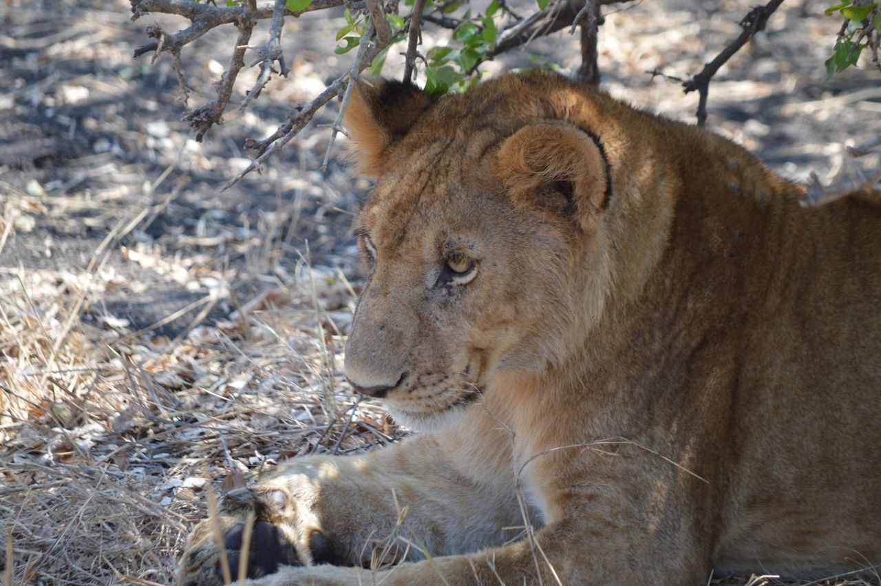 animals in the wild, lion - feline, animal themes, lioness, day, one animal, no people, animal wildlife, mammal, outdoors