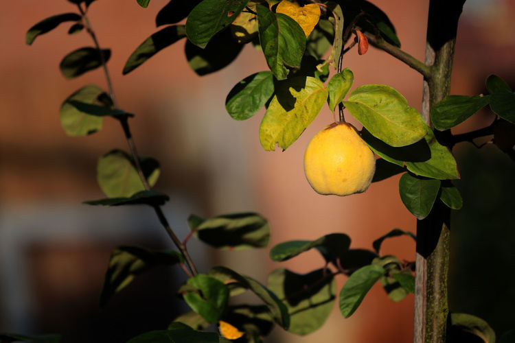 Quince Tree Yellow Yellow Fruit
