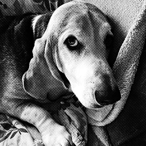 How can one resist this face One Animal Pets Dog Close-up Mammal Portrait Indoors  Home Interior Looking At Camera Bassethoundadventures Bassethoundsare Best Seniorhoundsrock Ilovemybassethounds Iphonephotography Bassetmoments Pampered Pooch