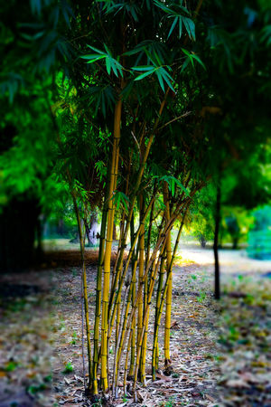 Bamboo trees Tree Nature Growth Outdoors Beauty In Nature No People Day Leaf Green Color Tranquility Water Natgeo Beauty In Nature NIKON D5300 Eyeemphotography Amateurphotographer  NikonAsia India Backgrounds Plant Greengrass Bambootree Vadodara Nikonphotography EyeEmNewHere