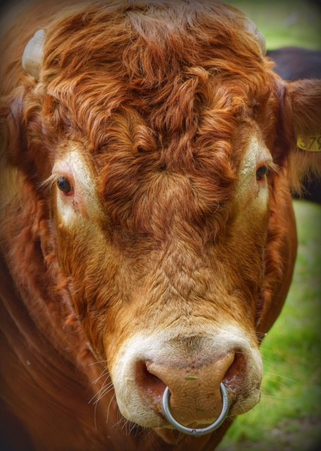 Animal Head  Animal Themes Brown Cattle Close-up Cow Day Domestic Animals Domestic Cattle Farm Animal Highland Cattle Livestock Mammal No People One Animal Outdoors