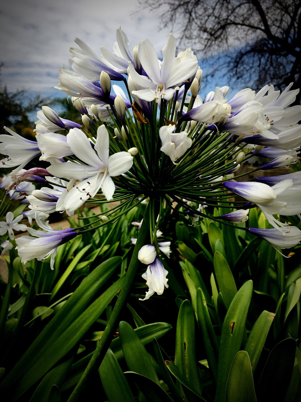 Agapanthus Flower Nature Flower Head Petals No People Freshness Growth Close-up White And Purple Flower