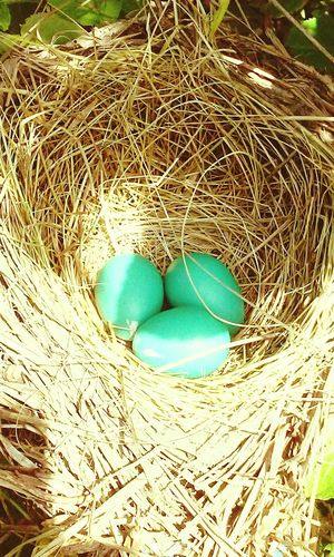 Check This Out Blue Robin's Nest Eggs