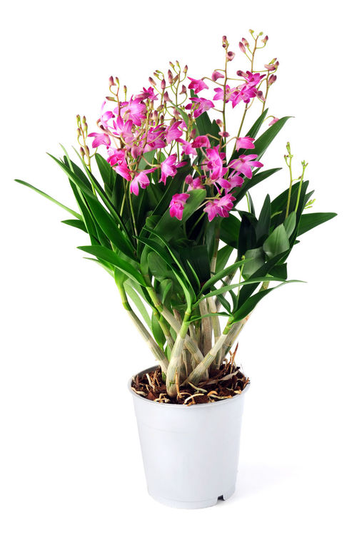 Dendrobium Berry Oda orchid on white isolated background. Dendrobium Berry Oda Flower Flower Head Flower Pot Isolated Isolated On White Isolated White Background Ochids Orchid Blossoms Orchid Flower Orchidea Orchidee Orchids Pink Flower Plant Potted Potted Flower Potted Plant Potted Plants Studio Shot White Background