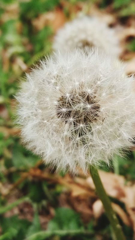 Dandelion Spring Spring Is Almost Here White Outside Grass Weeds Are Beautiful Too Nature Fuzzy