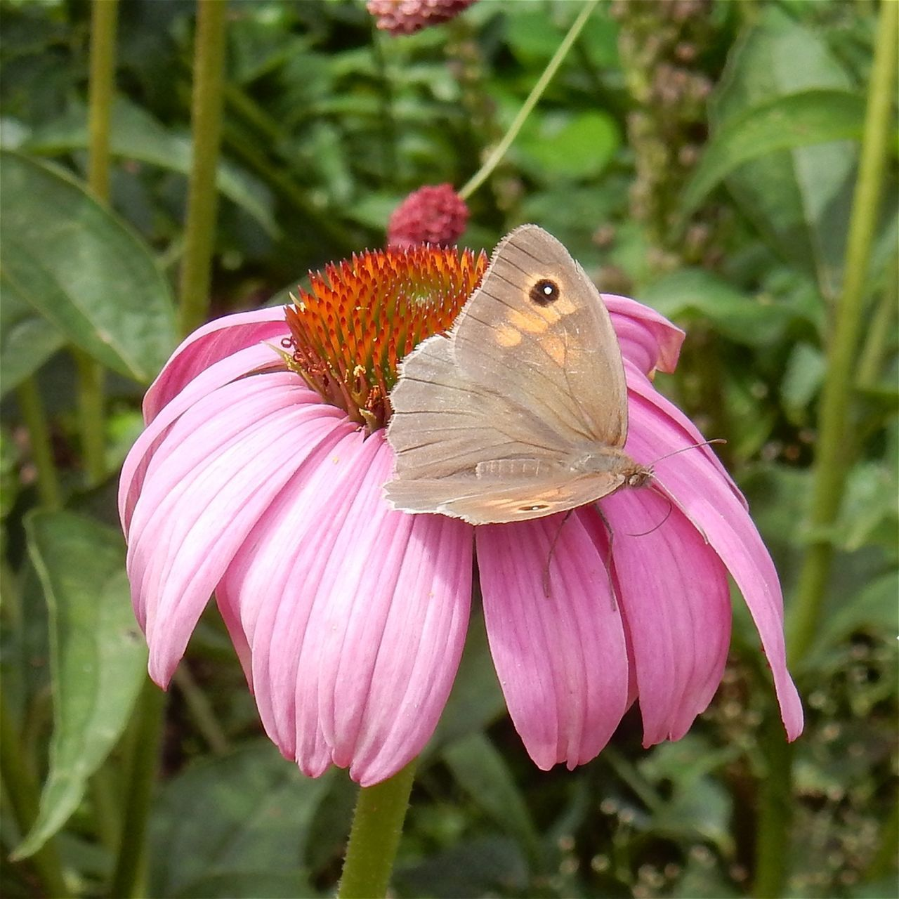 one animal, insect, flower, animal themes, animals in the wild, plant, nature, pink color, focus on foreground, growth, petal, close-up, no people, animal wildlife, fragility, outdoors, day, butterfly - insect, flower head, beauty in nature, freshness, pollination