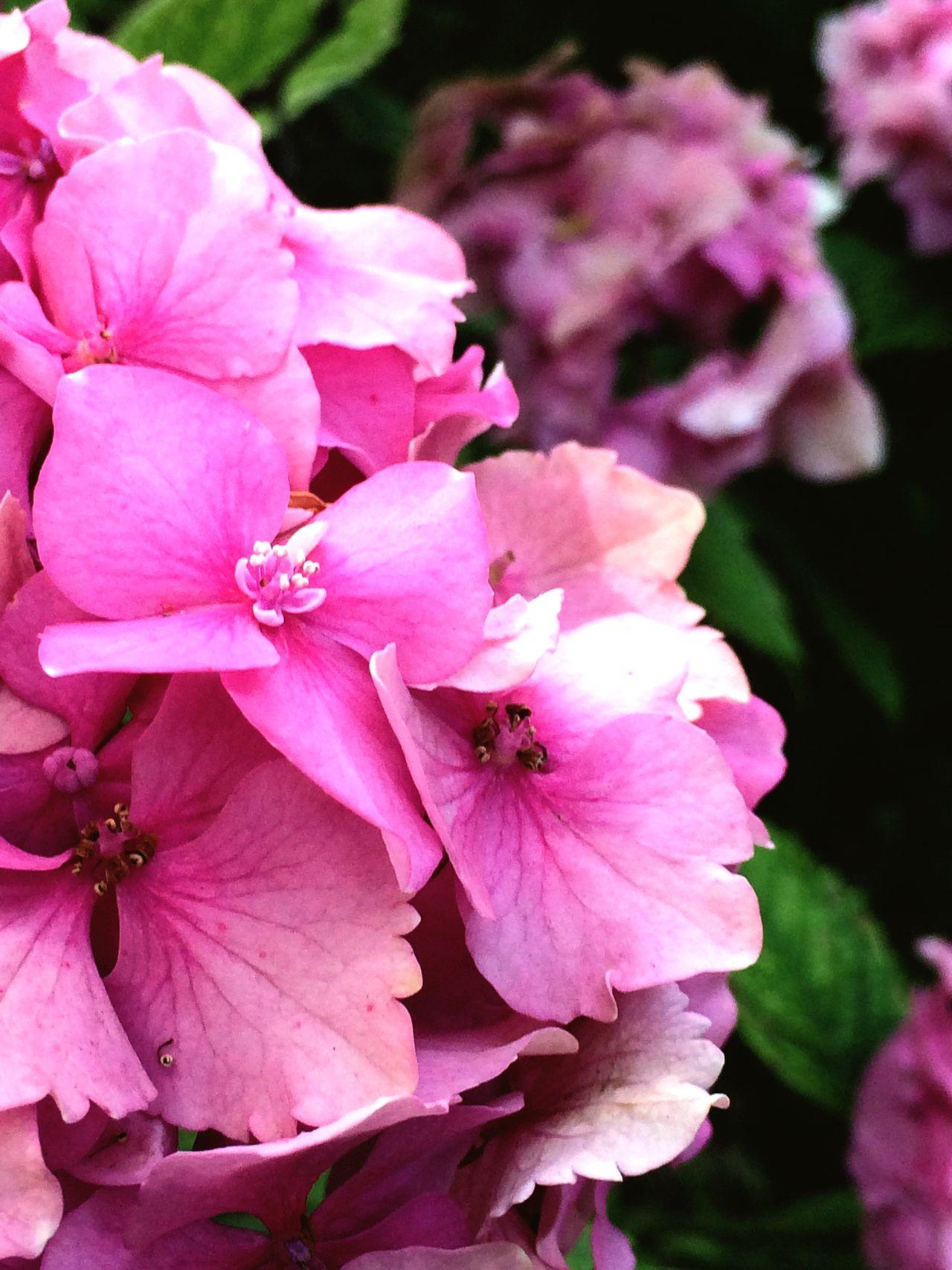 Przyroda Kwiaty Flowers Park Nature Hortensie