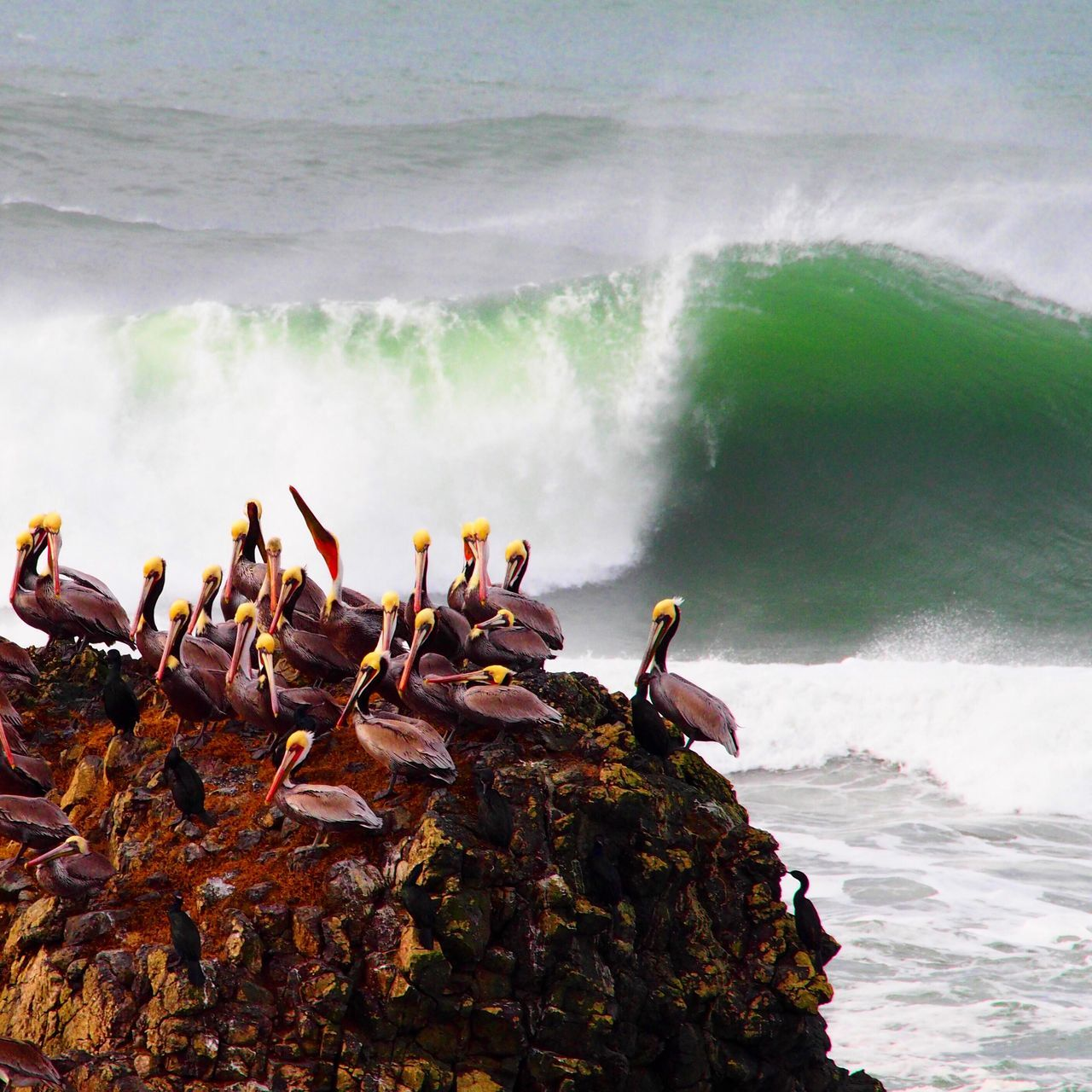 Brown Pelicans. Green Room. Birding Brown Pelicans Green Room Pacific Ocean Big Surf Storm Surge The Great Outdoors - 2016 EyeEm Awards