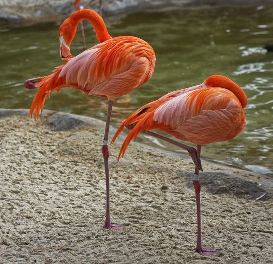 Flamingo Animal Themes Animals In The Wild Beauty In Nature Bird Close-up Day Flamingo Flamingos Full Length Nature No People Outdoors Water EyeEmNewHere