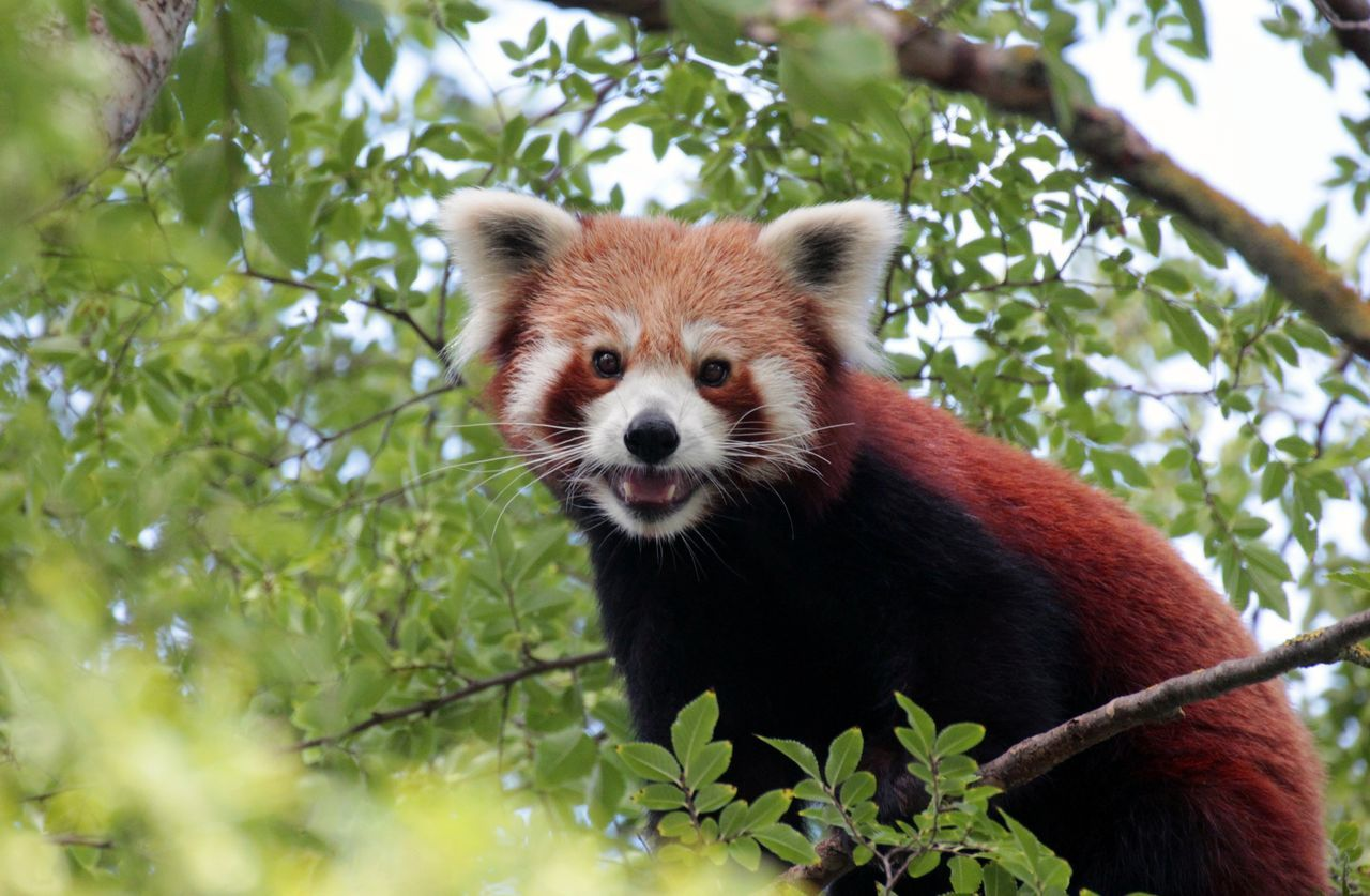 Friendly red panda Adelaide Zoo Animal Themes Animal Wildlife Day Friendly Fur Green Color Low Angle View Mammal Nature No People One Animal Outdoors Panda Panda - Animal Red Panda Smile Smiling Staring At Me Staring At The Camera Tree Trees Wildlife Zoo