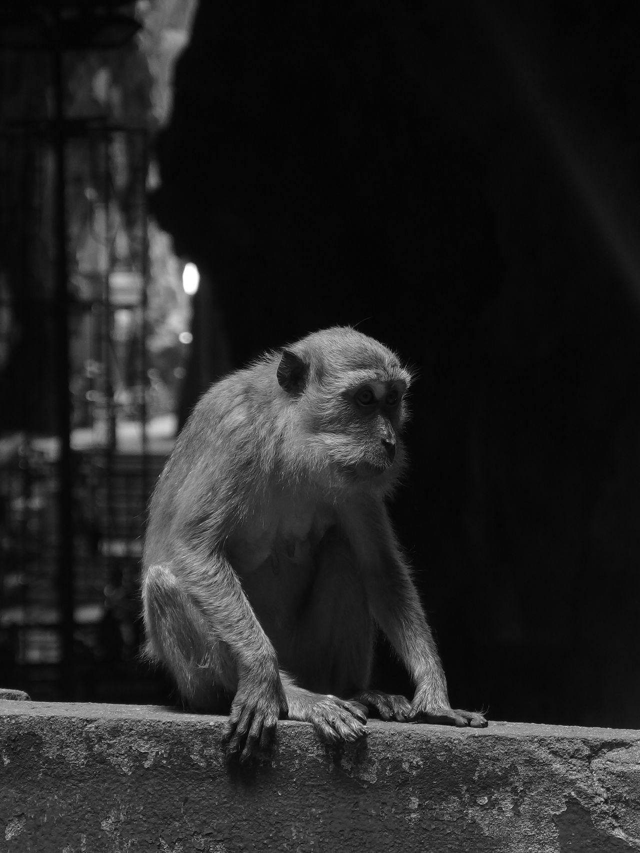 Animal Themes Batu Caves Batu Caves -Malaysia Black And White Cave Monkey No People Old One Animal Silence