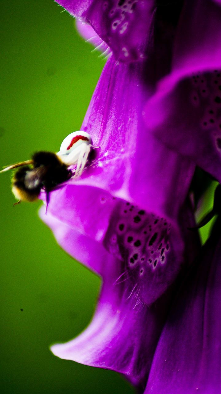 flower, petal, fragility, beauty in nature, growth, freshness, purple, flower head, nature, plant, pink color, no people, close-up, insect, one animal, animal themes, day, outdoors, animals in the wild, blooming