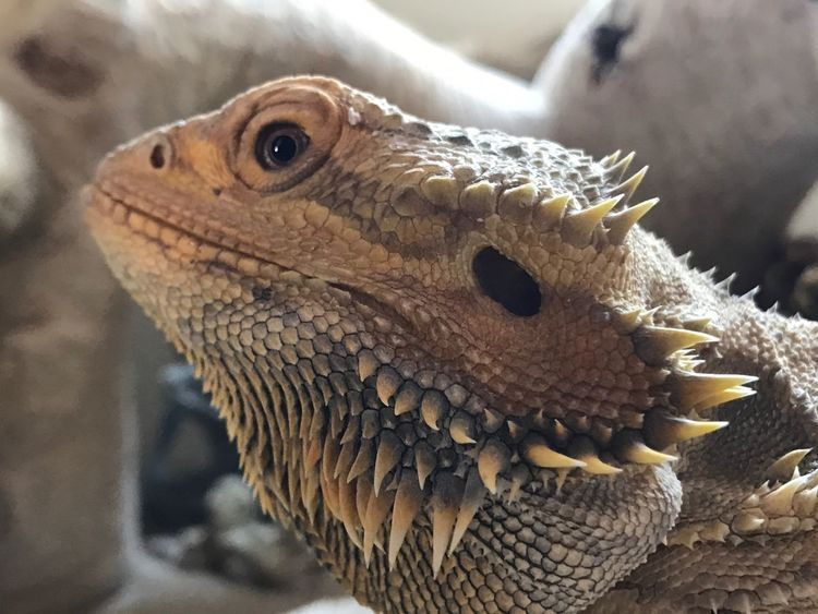 EyeEm Selects Reptile One Animal Animal Themes Animals In The Wild Bearded Dragon Close-up Animal Wildlife Focus On Foreground Lizard Day No People Outdoors Nature Animal Scale