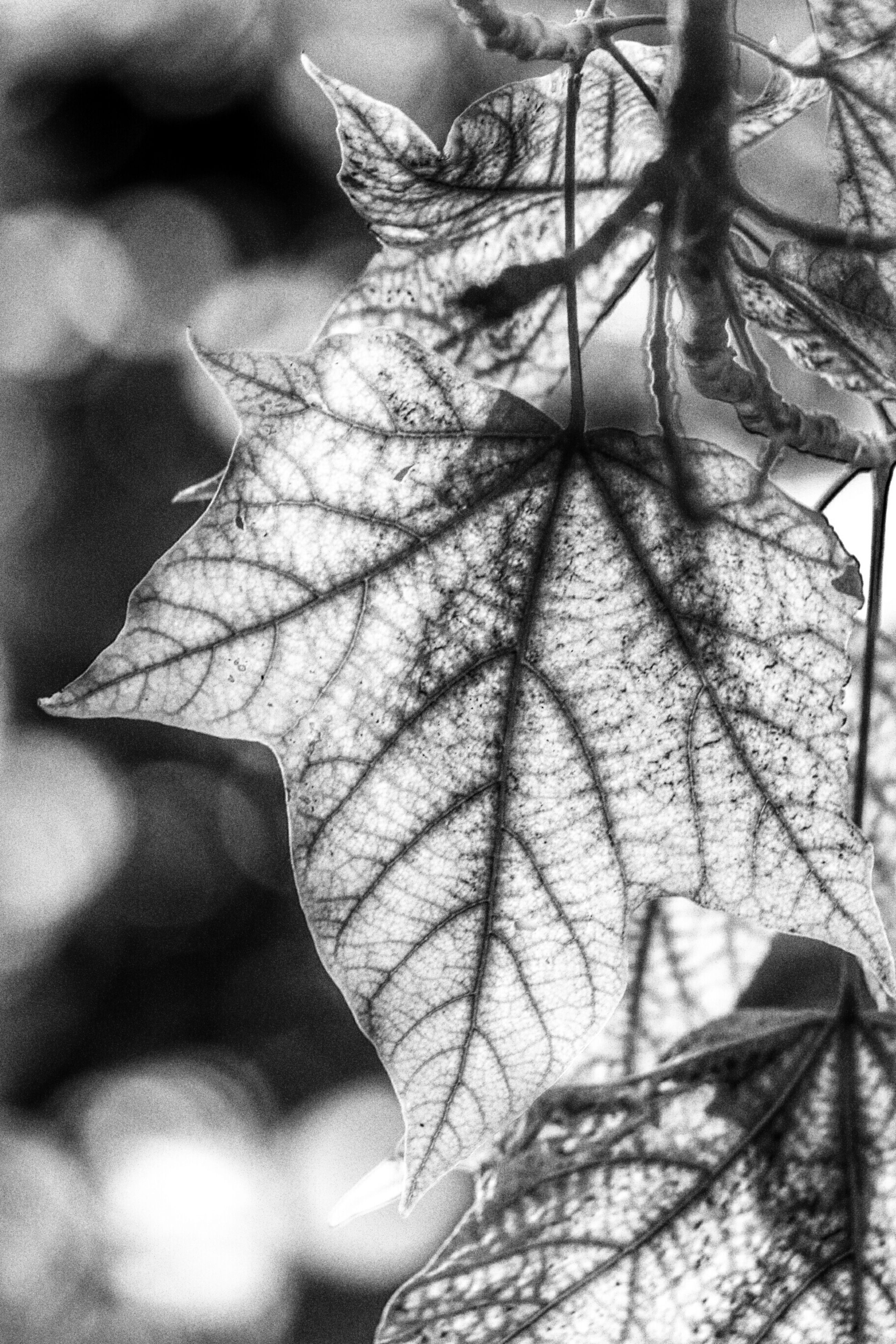 leaf, close-up, leaf vein, focus on foreground, fragility, dry, nature, branch, plant, growth, day, natural pattern, leaves, outdoors, no people, pattern, twig, stem, sunlight, beauty in nature