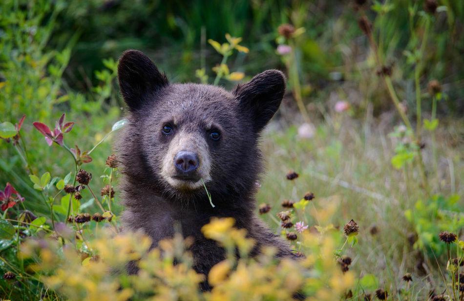 Beautiful stock photos of pflanzen, Animal Themes, Animal Wildlife, Animals In The Wild, Bear