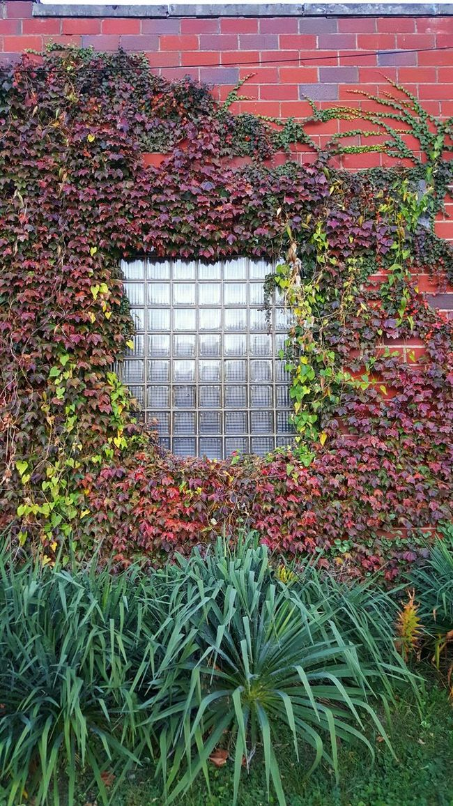 Plant Growth No People Green Color Ivy Day Nature Indoors  Greenhouse Creeper Plant Living Organism Window Brick Walls Foliage, Vegetation, Plants, Green, Leaves, Leafage, Undergrowth, Underbrush, Plant Life, Flora Complexity Multi Colored Nature Close-up Backgrounds Full Frame Outdoors Brick Wall Building Exterior Built Structure Architecture