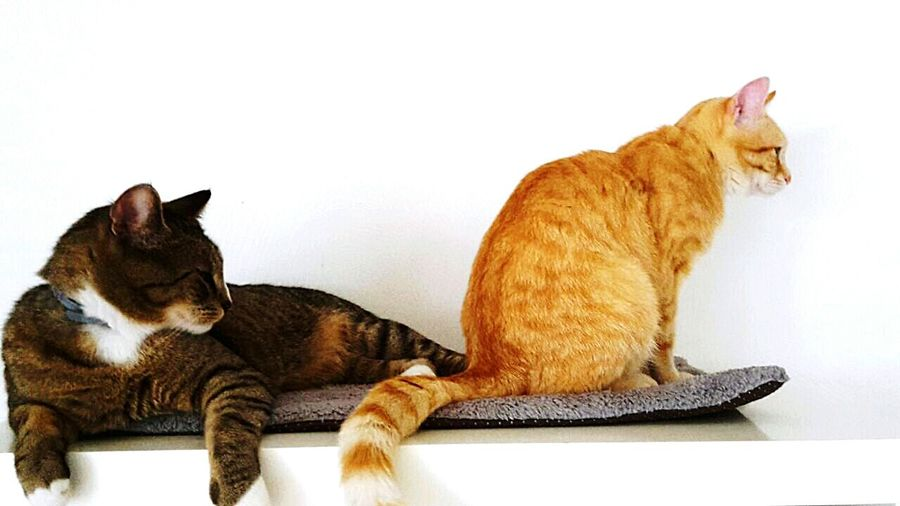 Catsofeyem Catsofinstagram Cats Of EyeEm King & Zazou Catoftheday The Cat Cat Brothers Catportrait Naughty Cat Animal Photography Catslife Cats Of EyeEm. Cats On EyeEm Cats Of EyeEm Cats & Dogs