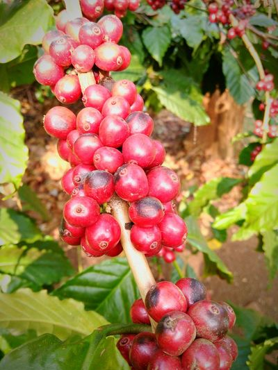 Pastel Power coffee fruits.... coffee estate mobil photography with friends ....rainy day
