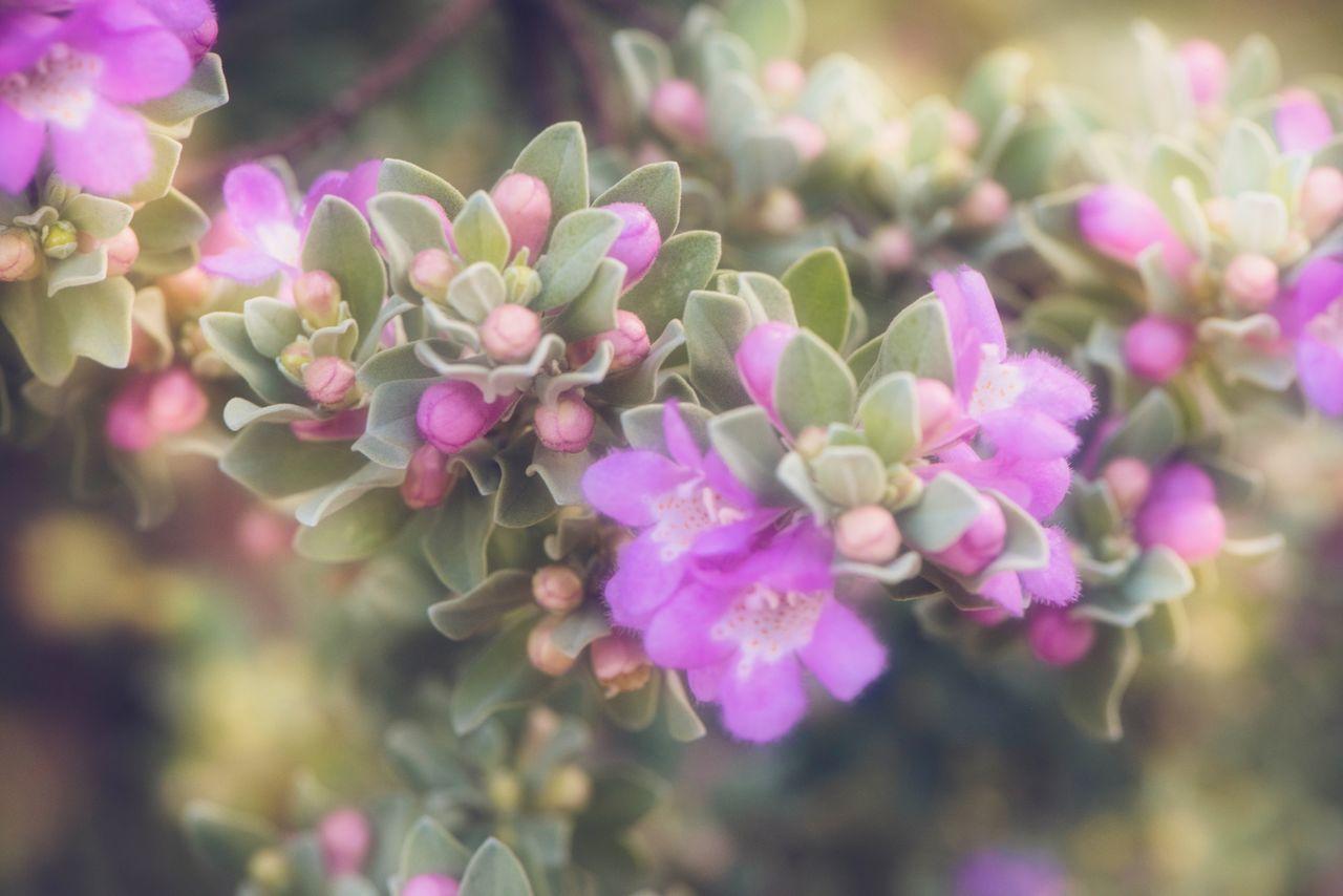Flowers Sagebrush Green Purple Flower Morning Blooming Soft Light