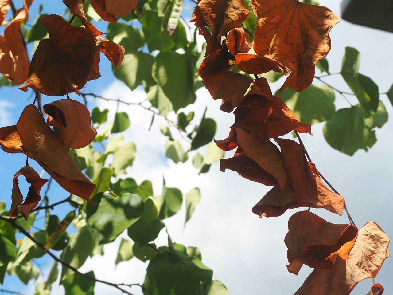 leaf, nature, growth, low angle view, beauty in nature, day, outdoors, no people, autumn, plant, tree, branch, close-up, freshness, sky