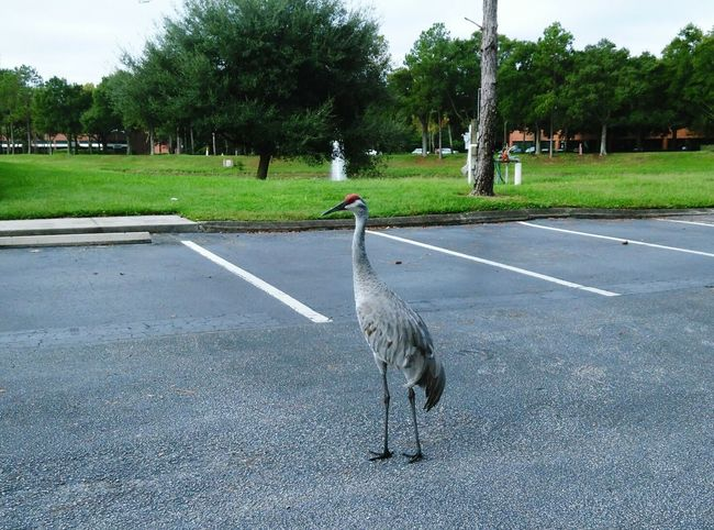 Check This Out Nature Photography Tampa Fl Only In Florida Urban Nature Big Birds Bird Urban Wildlife
