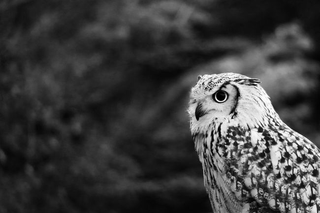 Owl Owl Eye Bird Photography Animal Outdoors EyeEm Best Shots Black And White Monochrome From My Point Of View in Yamanashi Japan